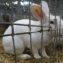 Кролик белый рекс