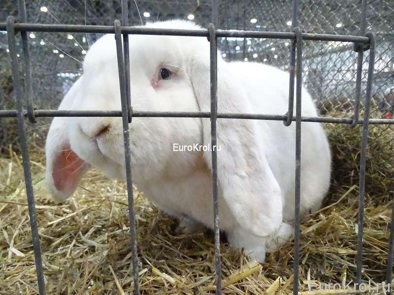 Кролик немецкий баран с голубыми глазами