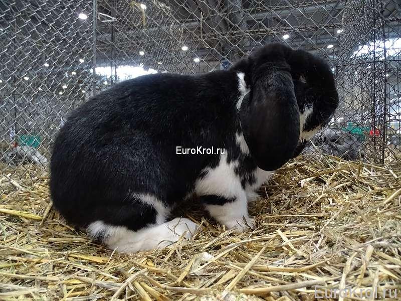 Кролик немецкий баран чёрный плащевой