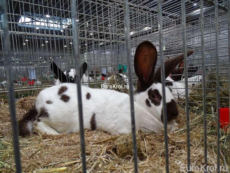 Кролик немецкий пёстрый великан гавана