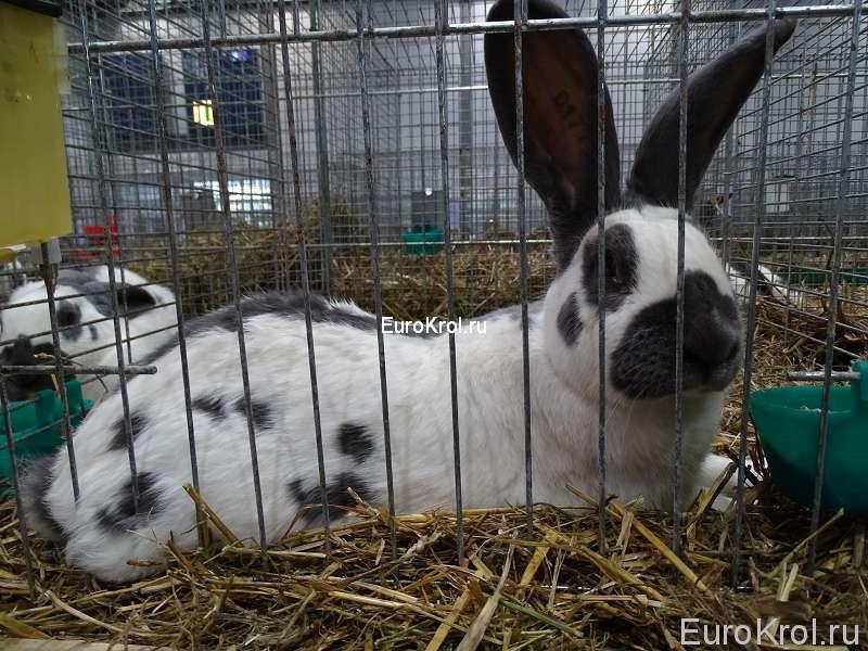 Кролик немецкий пёстрый великан голубой