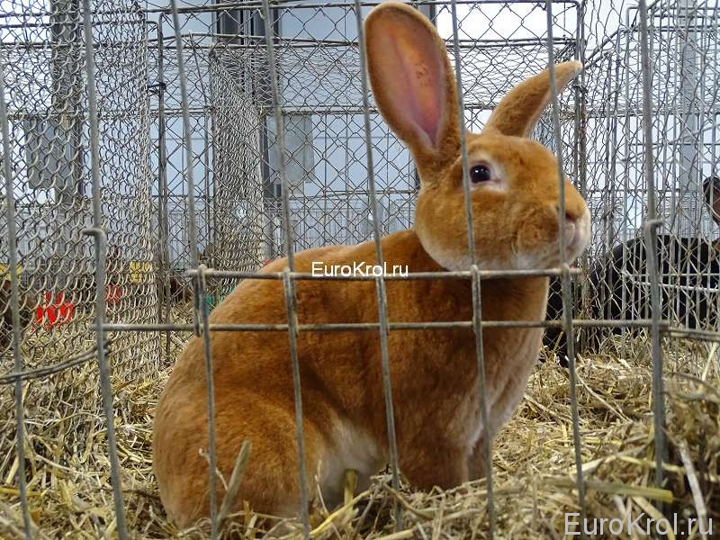 Кролик рекс гелб