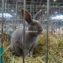 Кролик рекс голубой