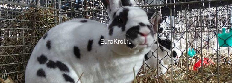 Кролик рекс далматин