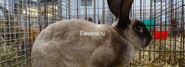Кролик рекс мардер коричневый