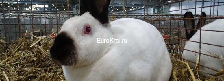 Кролик рекс окрас русский