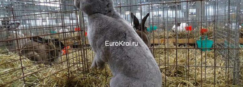 Кролик рекс окрас фех