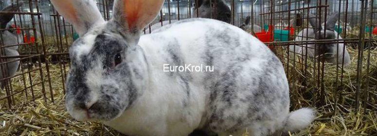 Кролик рекс рен