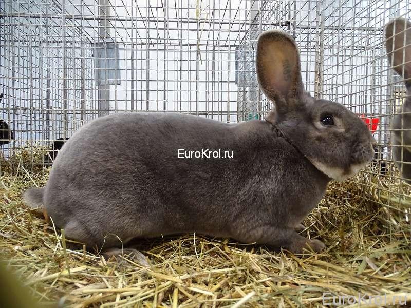 Кролик рекс серо-голубой