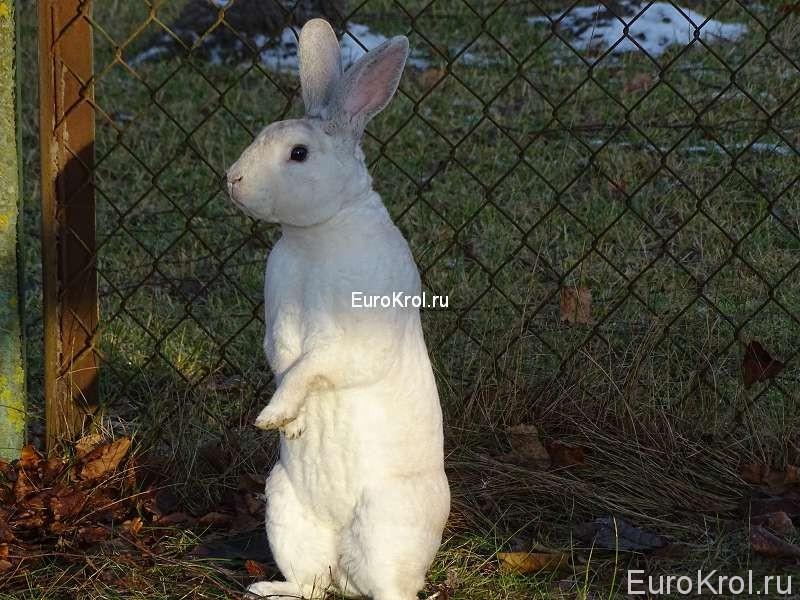 Кролик рекс чёрно остевой