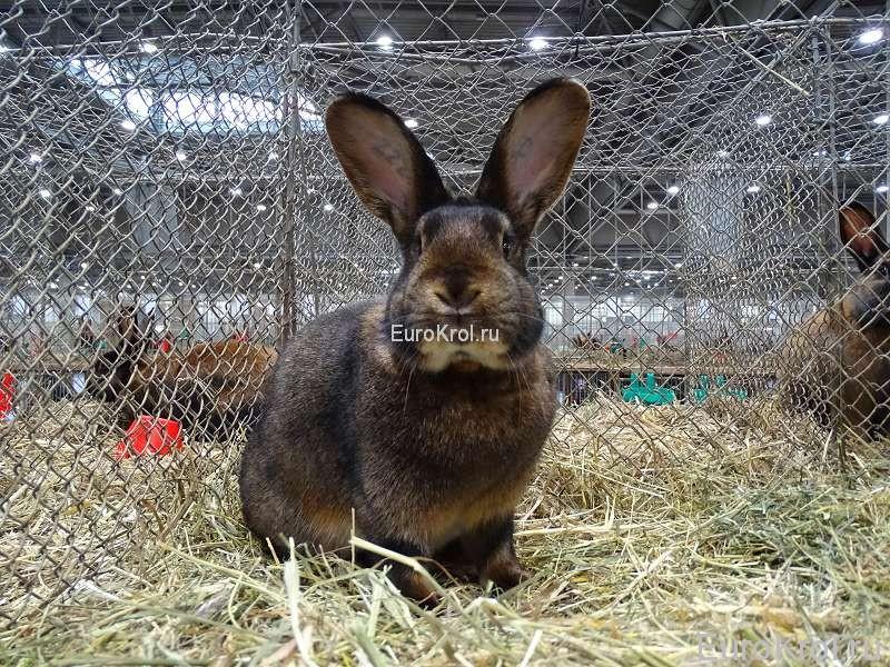 Кролик сатин кастор Бундесшоу