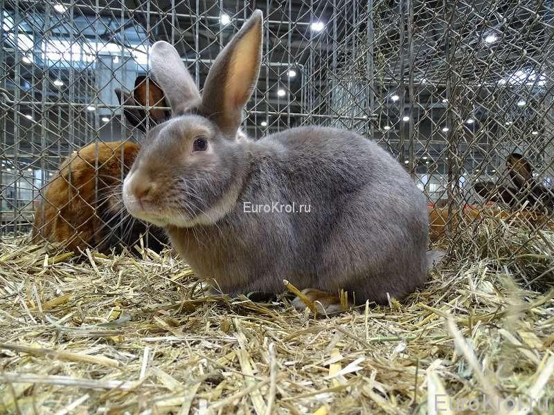 Кролик сатин люкс на выставке