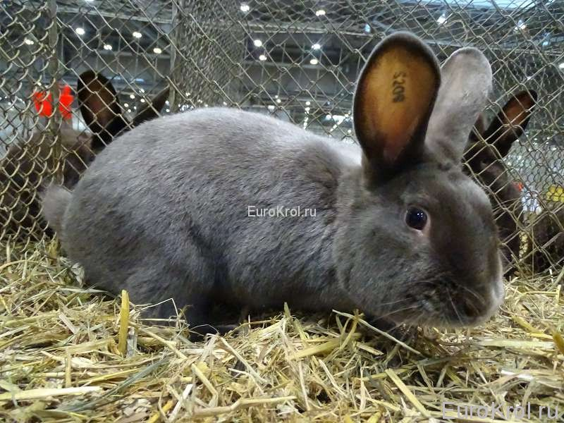 Кролик сатин фех Бундесшоу