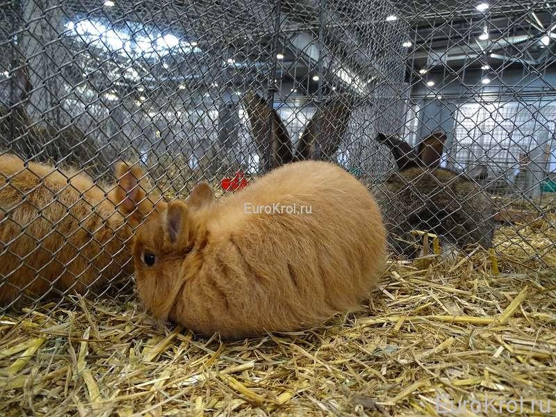 Лисий карликовый кролик гелб