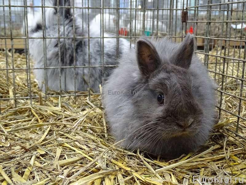 Лисий карликовый кролик фех