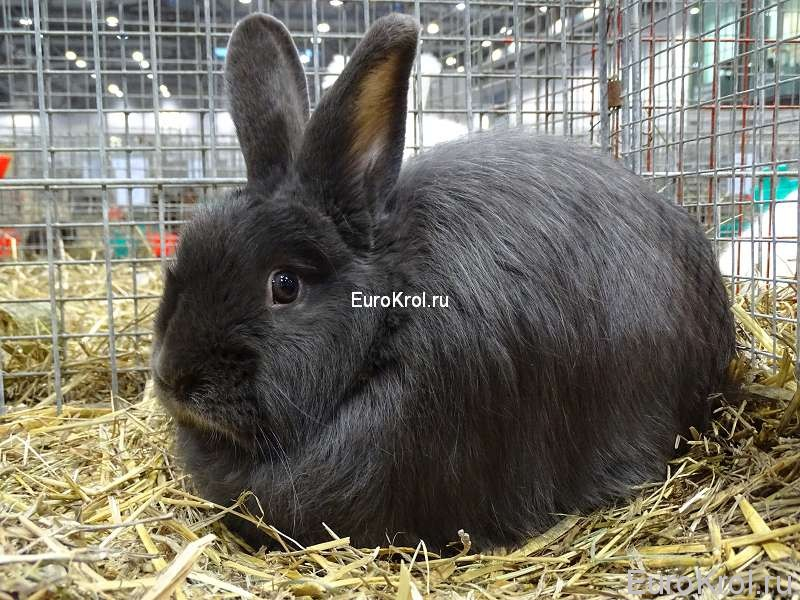 Лисий кролик голубой