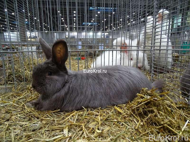 Лисий кролик фех