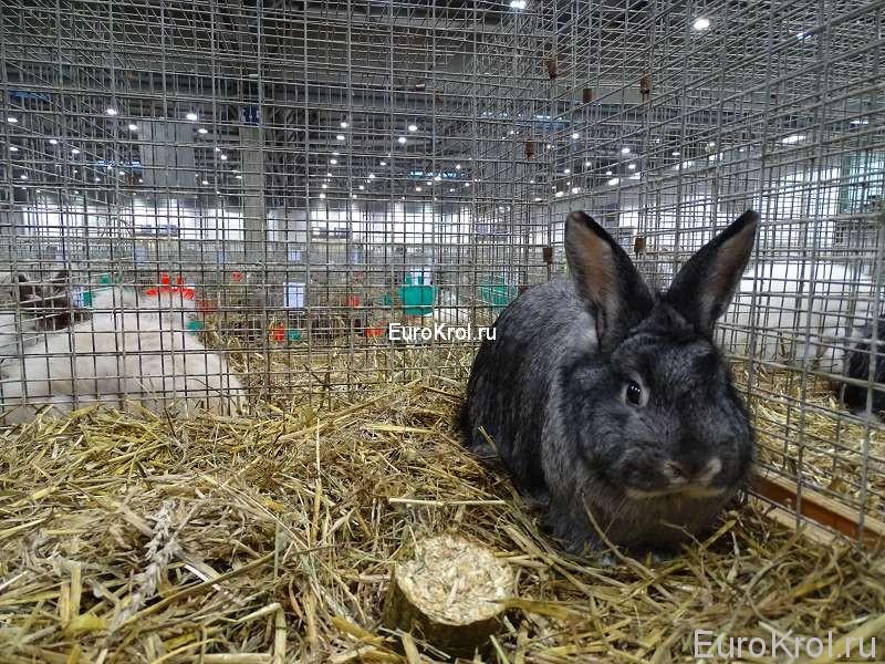 Лисий кролик шиншилловый