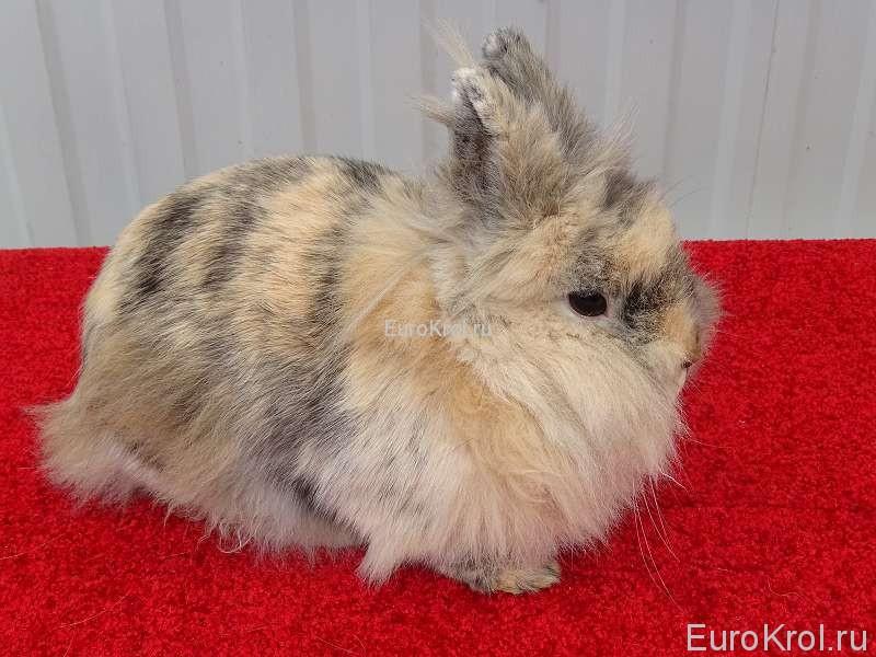 Львиноголовый карликовый кролик японского окраса