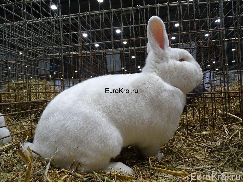 Новозеландский белый кролик в клетке