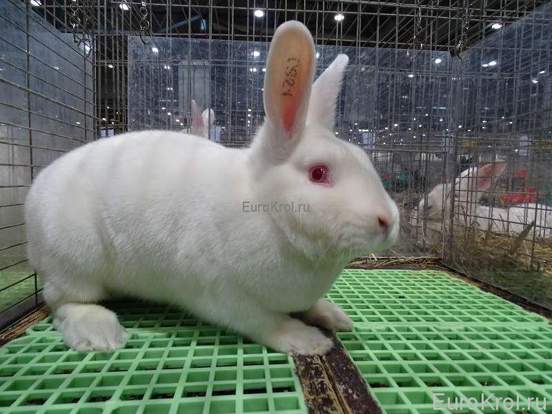 Сатиновый белый кролик