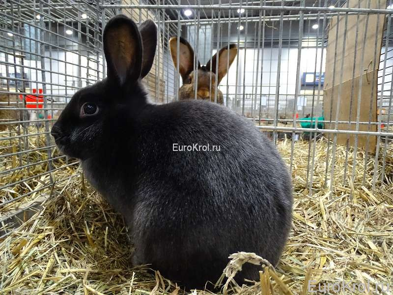Сатиновый голубой кролик