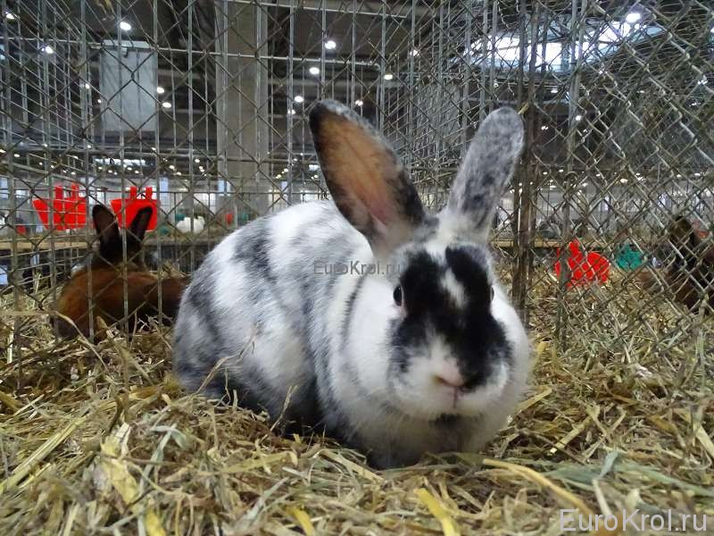 Сатиновый кролик рен Бундесшоу