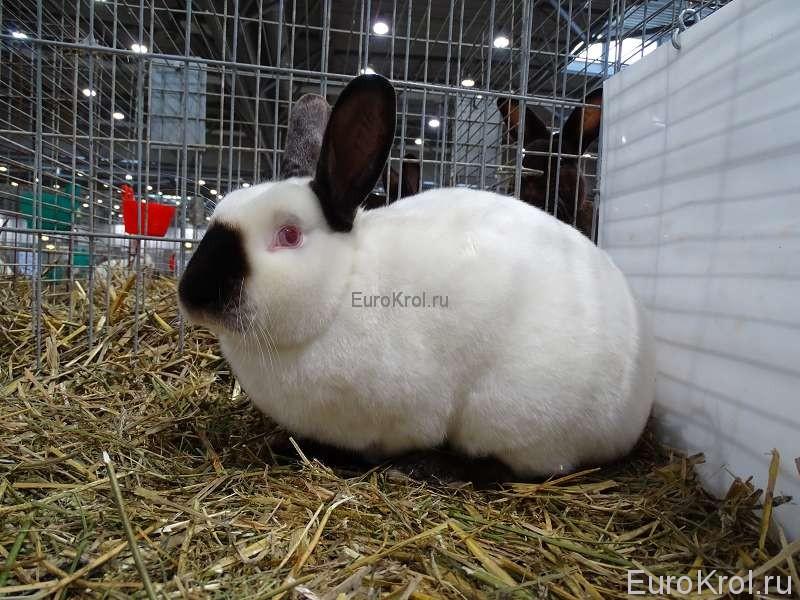 Сатиновый русский кролик