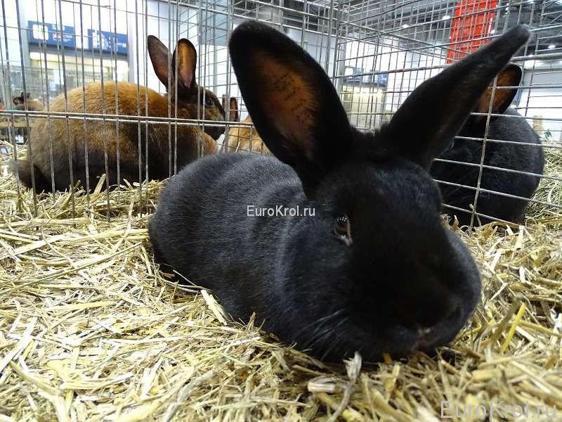 Чёрный сатиновый кролик