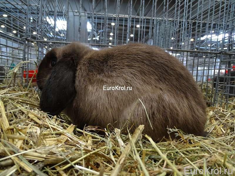 кролик карликовый баран мардер