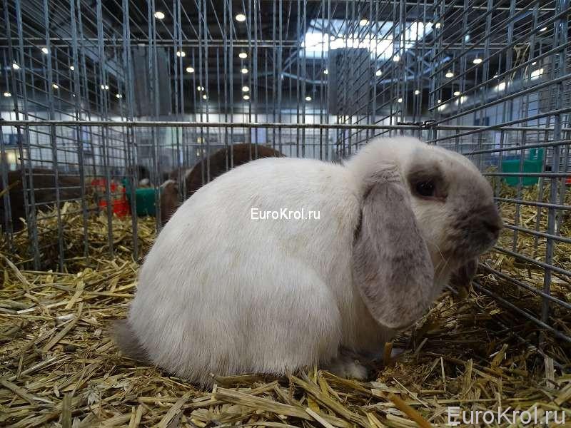 кролик карликовый баран сиамский голубой