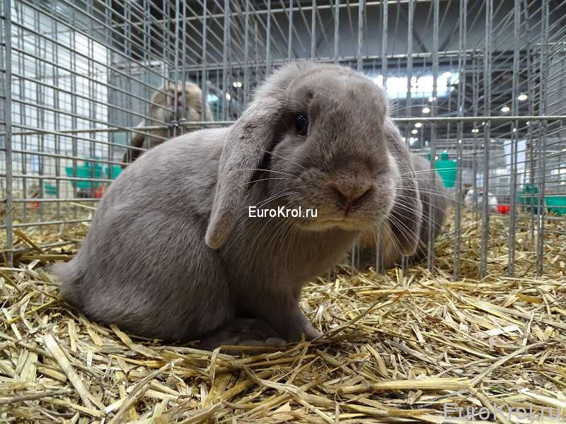 кролик карликовый баран фех