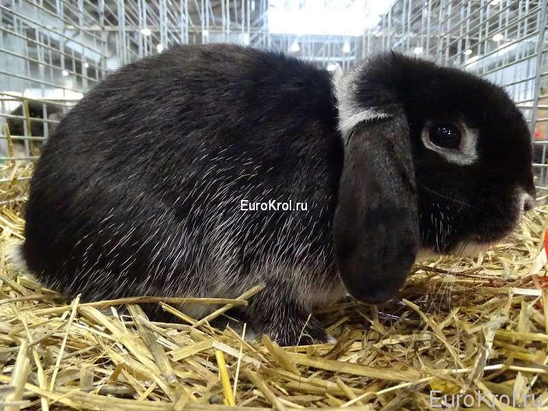 кролик карликовый баран чёрный белоостевой