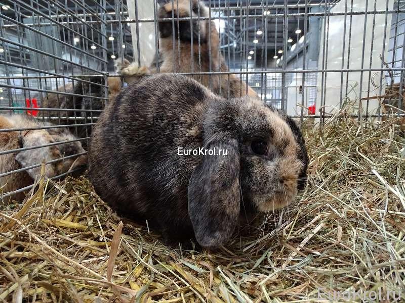 кролик карликовый баран японского окраса