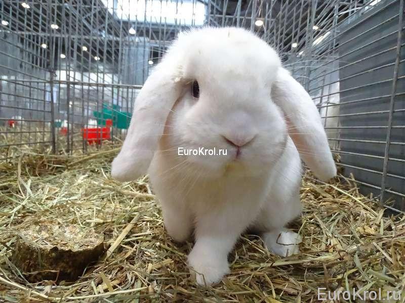 кролик карликовый белый баран с голубыми глазами