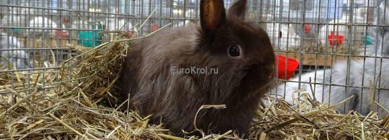 Лисий карликовый кролик гавана