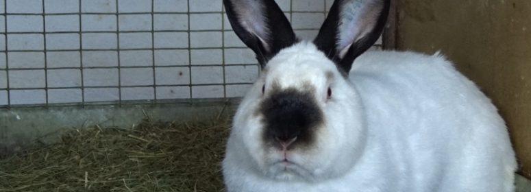 Почему в Австрали не едят диких кроликов