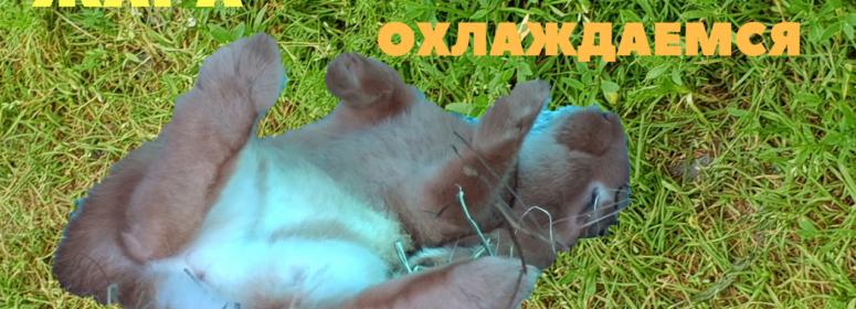 Жара кроликам