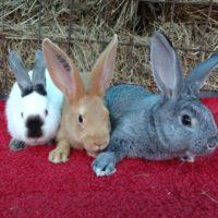 Размножение кроликов