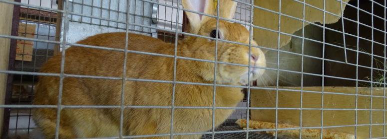 Кровь кролика
